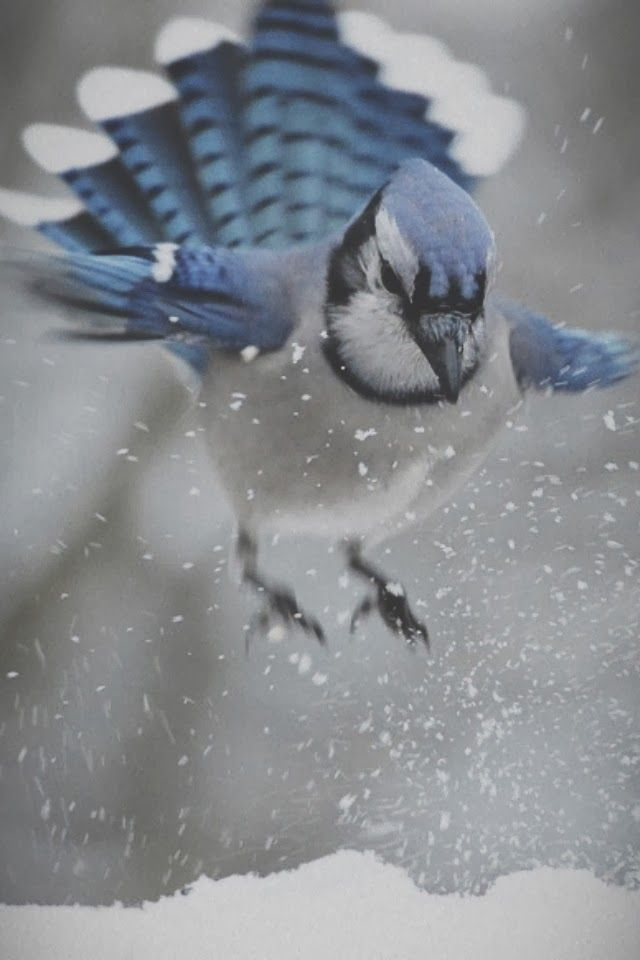 """A Blue Jay ~ """"Coming In For Landing."""""""