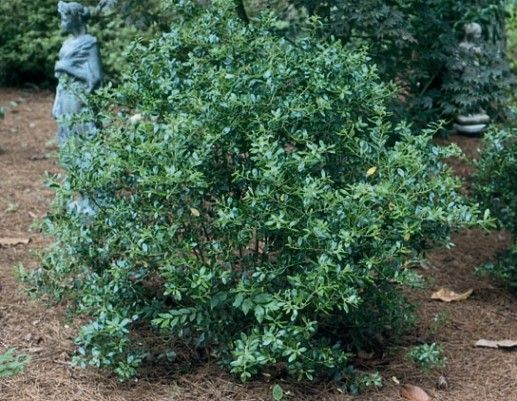 Peach Sorbet Blueberry Bush
