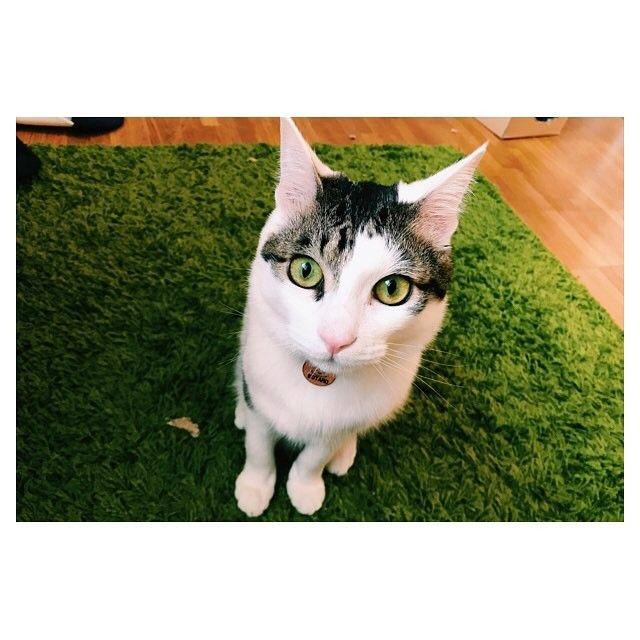 ブラッシングして冬毛がかなり抜けたのでちょっとシュッとしたかな?? 今まで色々なブラシ買ったけど、ラバーブラシ面白い様に毛が抜けました😆 #cat #cats #ねこ #ネコ #猫 #保護猫 #保護猫出身 #元保護猫 #キジ白 #きじしろ #ねこ部 #イケにゃん #にゃんすたぐらむ #nekostagram #にゃんだふるらいふ #ねこのいる生活 #愛猫 #猫好きさんと繋がりたい #ねこのきもち #付録目当て