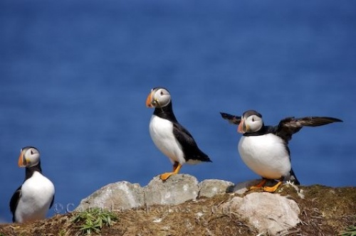 Atlantic puffins -  Newfoundland, Canada.  If you get pooped on by a puffin - its considered lucky