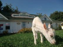 The Great Canadian Soap Co.  Body Care Products/Natural Products  Come & get up close and personable with our goats that produce the milk that we make soap with. Their milk has many benefits for your skin.  Seasonal: Open year round. Directions:  On Route 6 between Oyster Bed Bridge and Brackley corner.  Address: 4224 Portage Road Brackley Beach, PE C1E 1Z3 Phone: 902.672-2242 / 1.800.793.1644
