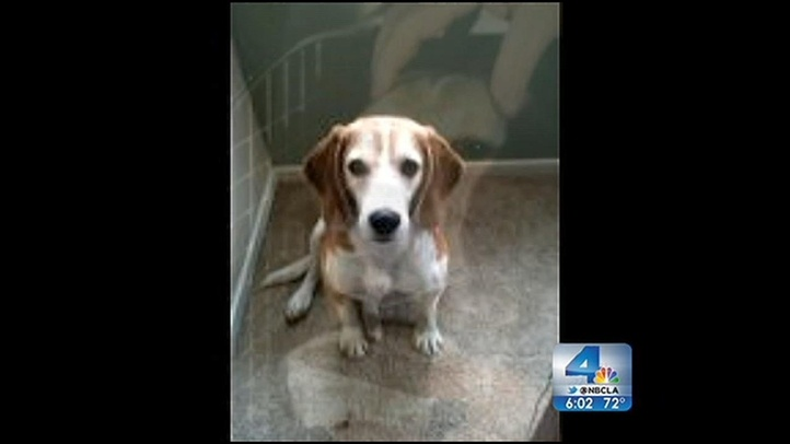 HELP...Search is on for Beagle rescued from Lab in Spain NBC Los Angeles...Plz friends in the L.A. area help find this special Beagle, Gadget!