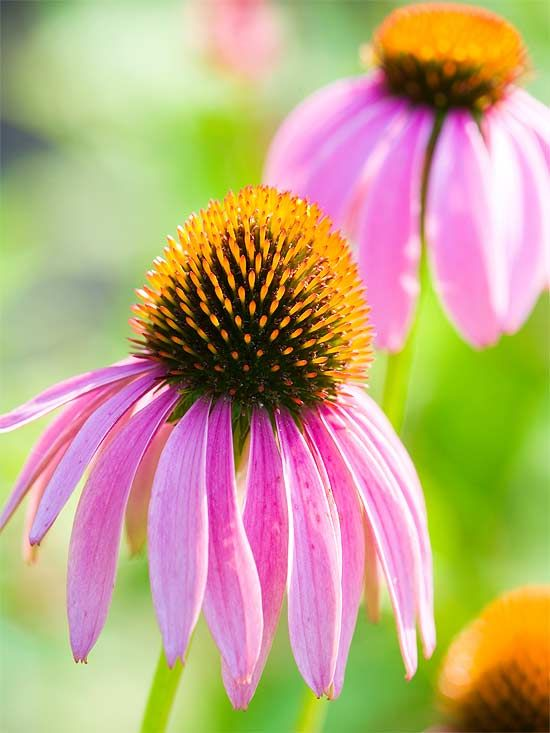The 'Magnus' Purple Coneflower attracts butterflies and can stand up to heat. More perennials for your garden: http://www.bhg.com/gardening/flowers/perennials/best-perennials-for-your-yard/?socsrc=bhgpin042012perennialsforyouryard