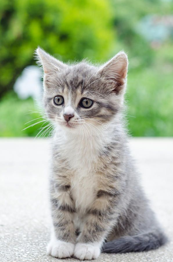 Cute Tabby Kitten Cute Tabby Grey And White Kitten Sponsored