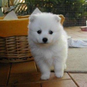 Фото японского шпица - породы маленьких собак.