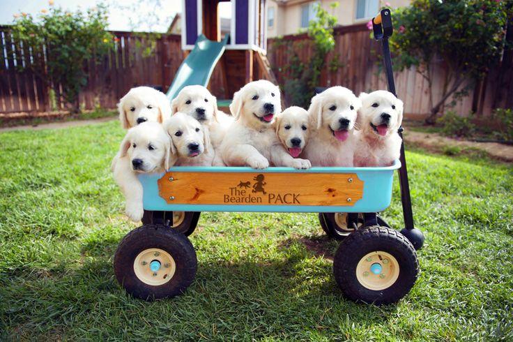 Puppies from our English Cream Golden Retriever litter