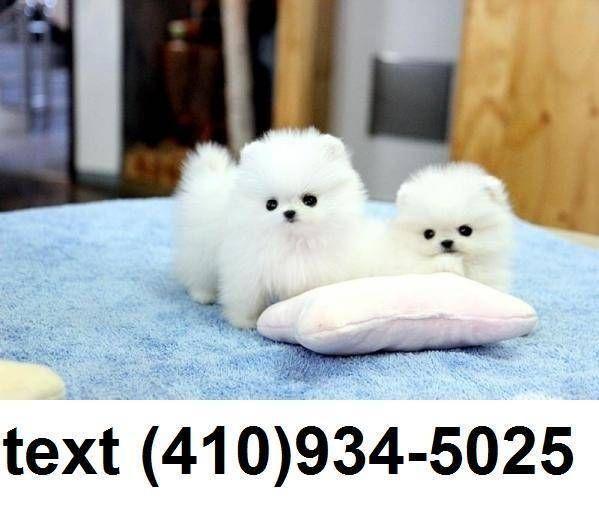 Stunning Tiny Tiny Teacup Pomeranian Puppies For Sale Micro Mini Teacup Pomera Micro In 2020 Pomeranian Puppy For Sale Puppy Adoption Pomeranian Puppy Teacup