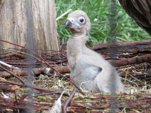 Adoption réussie d'un jeune vautour moine français au Zoo d'Anvers