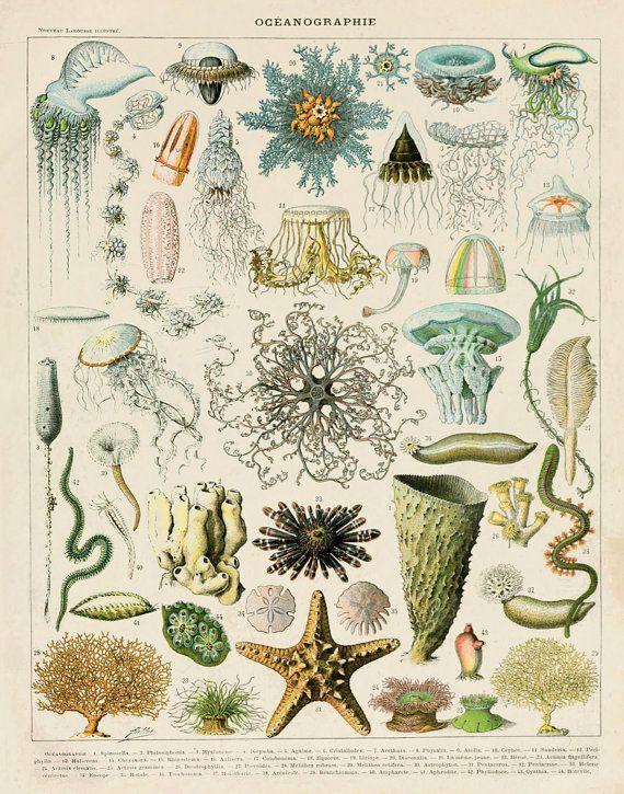 Vintage French Ocean Life Print 8.5 x 11 11 by michaelellisstudios, $15.00