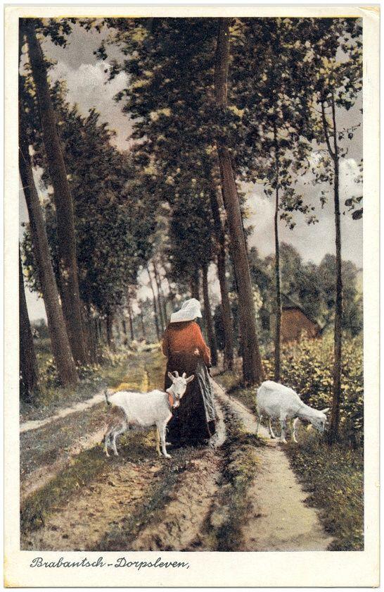 Het hoeden van de geiten door boerin in klederdracht. 1900-1920