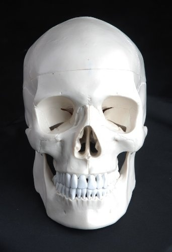 Medical Anatomical Human Skull Model High Quality, Classic, 3-part, Life Size by Wellden, http://www.amazon.com/dp/B0077B3L42/ref=cm_sw_r_pi_dp_5TRMrb0826ZGD