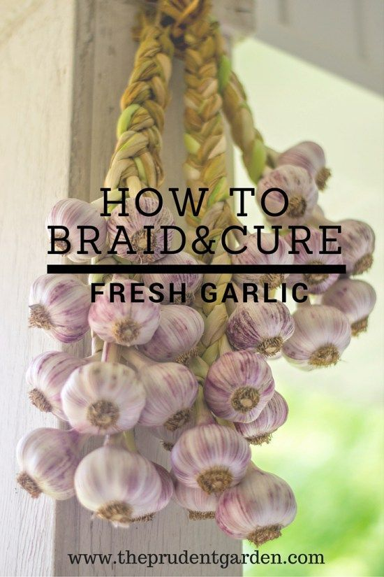 How to braid and cure fresh garlic. | The Prudent Garden