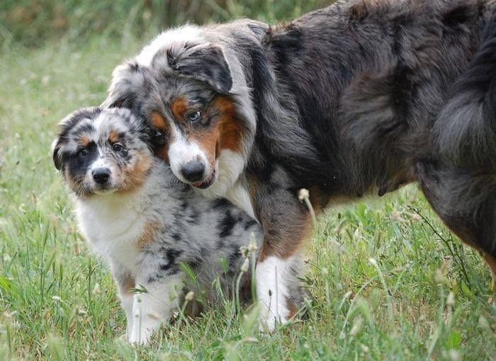 Australian Shepherd Mama and pup ..