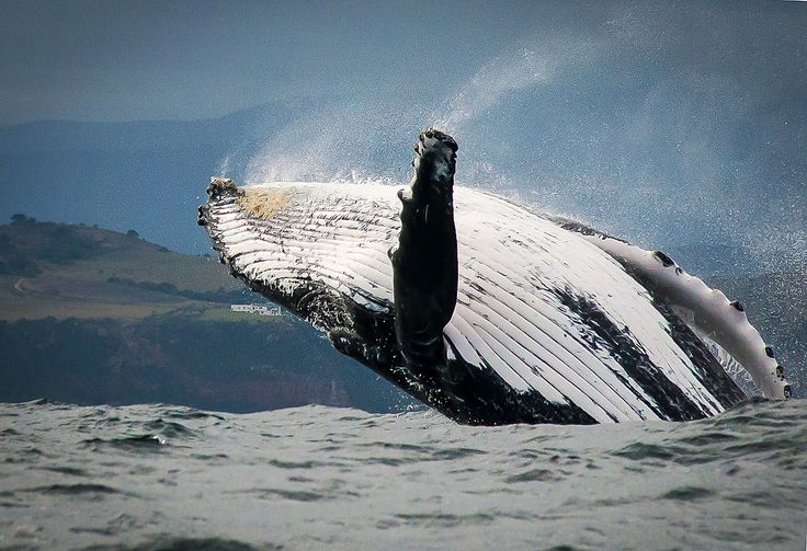 A humpback whale breaching near the Knysna heads in South Africa.