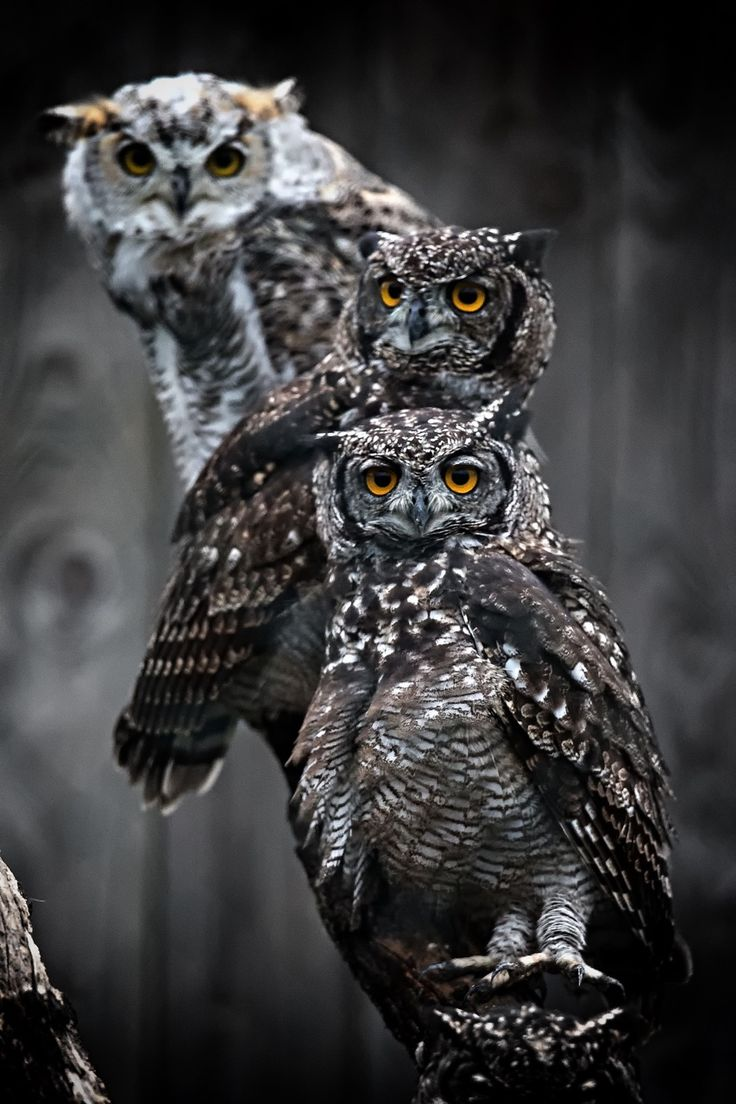 ~~Owls by Marcus Pusch~~