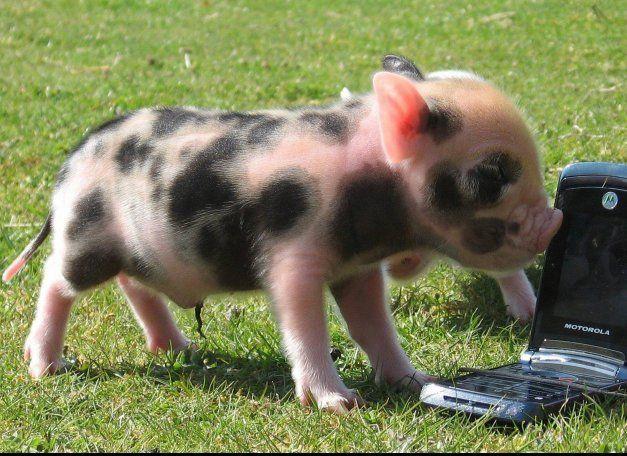 Pygmy pig!