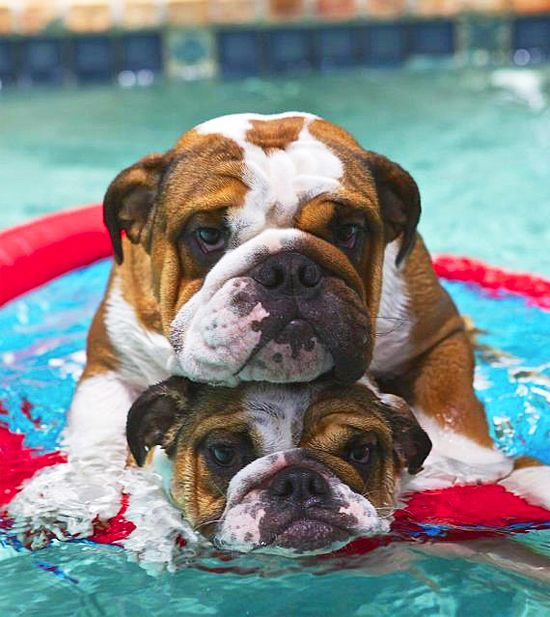 English Bulldogs ~ swimming lessons