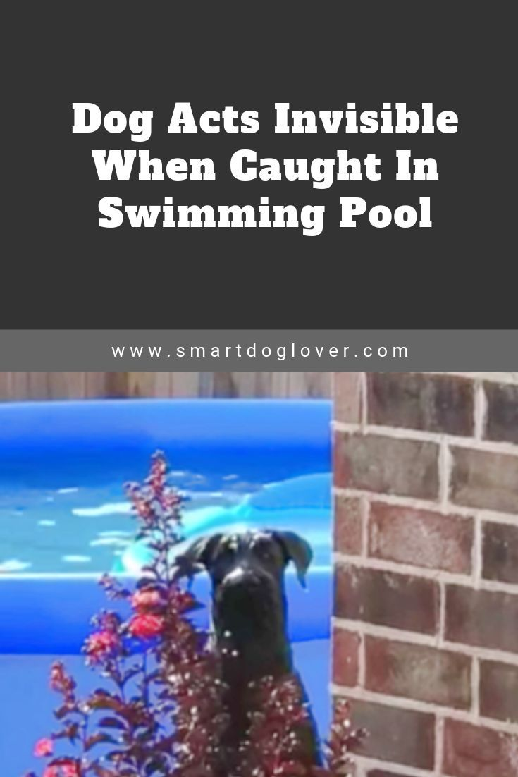 Dog Acts Invisible When Caught In Swimming Pool Big Dog Little