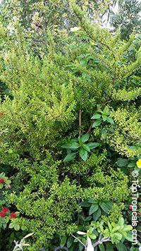 Satureja Viminea - Kama Sutra Mint Tree  Click to see full-size image