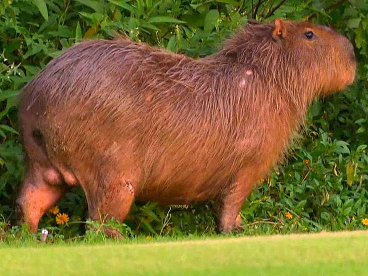 Rio's Olympic Golf Course Overrun with Capybaras and Crocodiles Days Ahead of Summer Games  -     August 3, 2016