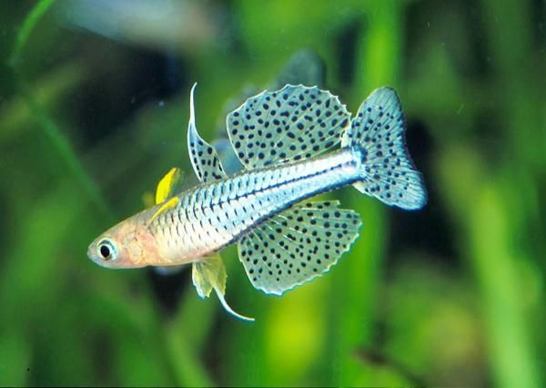 Gertrude's Rainbow (pseudomugil gertrudae) - one of my favorite rainbowfish... tiny but exquisite