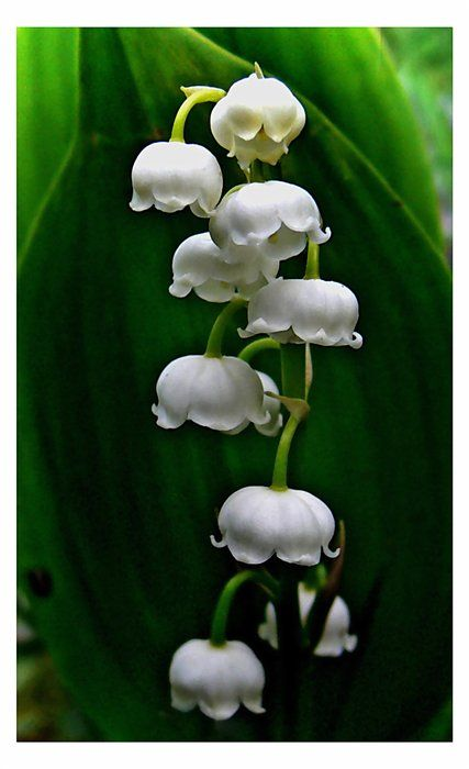 Lily Of The Valley Flower.