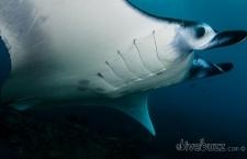 Historic day for shark and manta ray protection at CITES