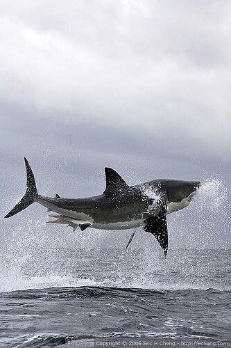 White Shark....the other 'flying fish'.