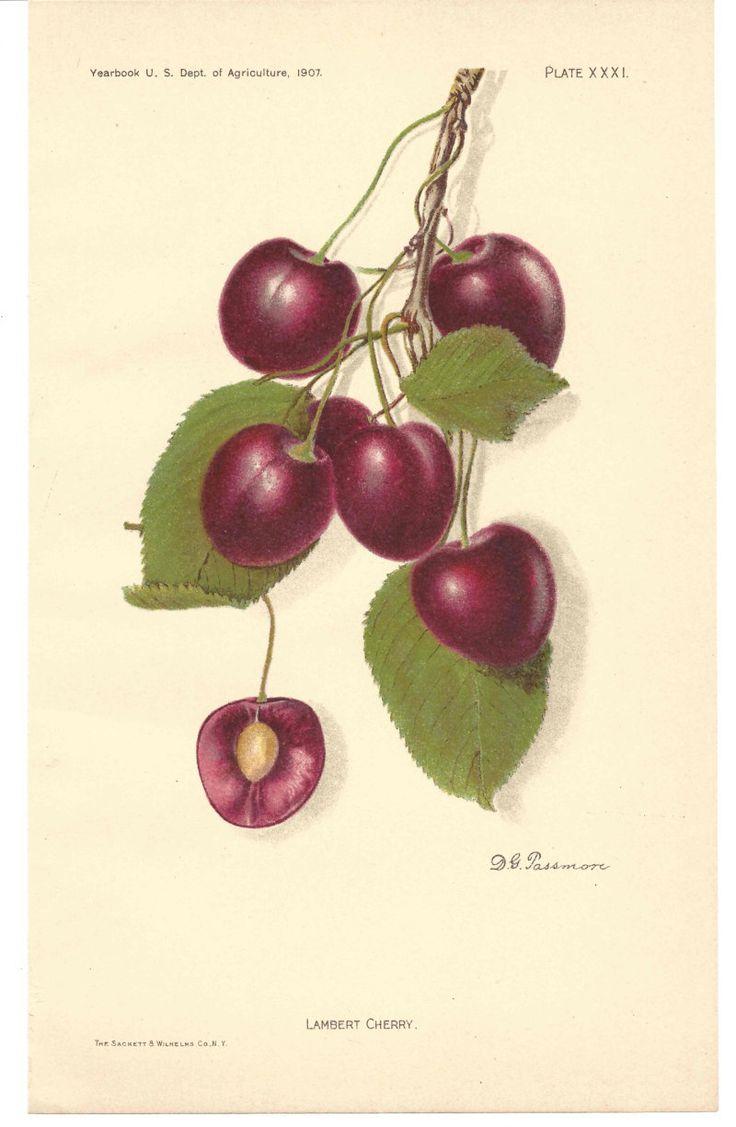63 best antique fruit prints images on pinterest antiques cherry vintage art print