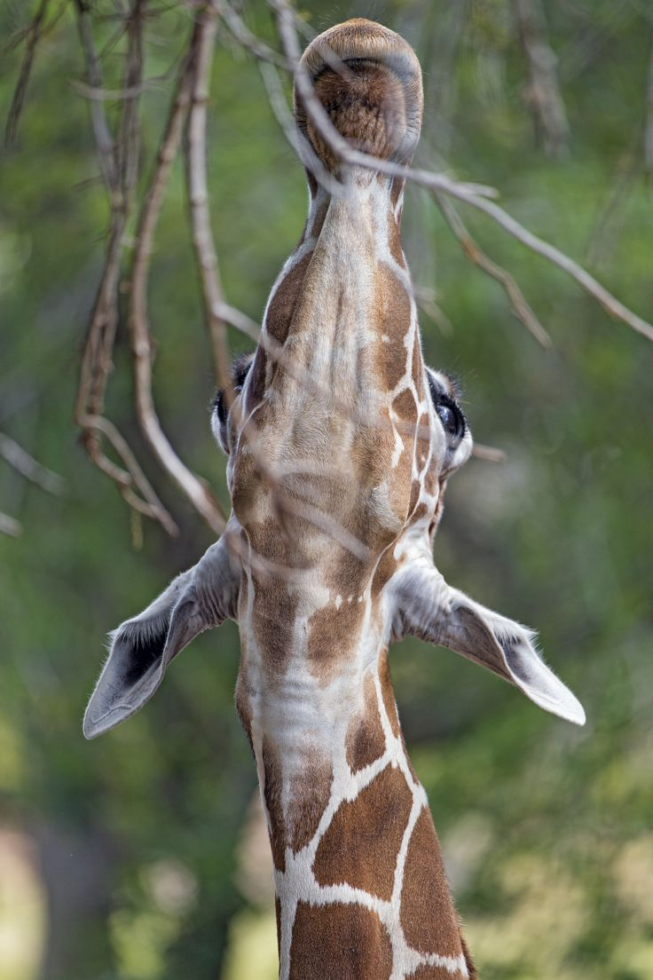 Funny giraffe cartoon meme - photo#42