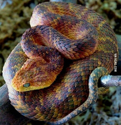 Atheris Squamigeria: One of the most beautiful snakes in the world.