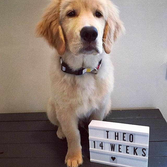 Golden Retriever Puppy Growth Week By Week Pictures Retriever