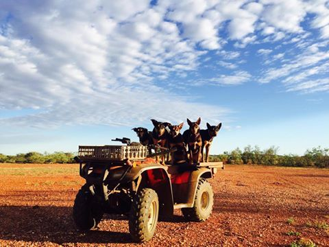 Mustering with the canine crew