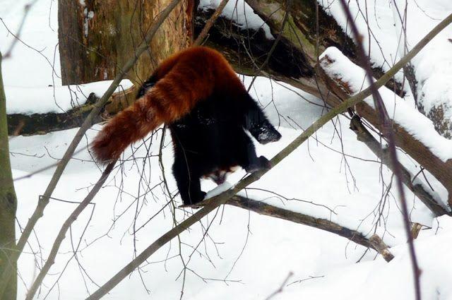 Jemina Staalon Veden vuosi 2: Pikku panda touhuaa lumessa