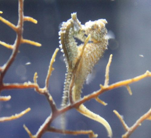 Salt Water Fish Store Store - Dwarf Sea Horse-Mated Pair, The male is pregnant!, $15.00 (http://www.mysaltwaterfishstore.com/dwarf-sea-horse-mated-pair-the-male-is-pregnant/)