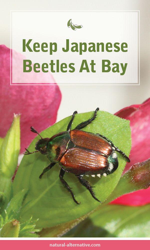 Keep Japanese Beetles At Bay
