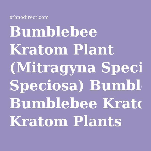 Bumblebee Kratom Plant (Mitragyna Speciosa) Bumblebee Kratom Plants For Sale : EthnoDirect.com, One Stop Ethnobotanical Plant Shop