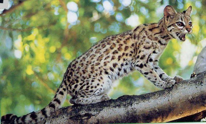 Oncille (Chat-Tigre) Le Chat-Tigre est un animal sauvage qui a tendance à être agressif surtout les mâles. C'est un excellent grimpeur et sauteur. Cependant, le Chat-Tigre est moins adepte de la vie en haut des arbres que le Margay. Il préfère chasser sur la terre des insectes, des reptiles ou des rongeurs.