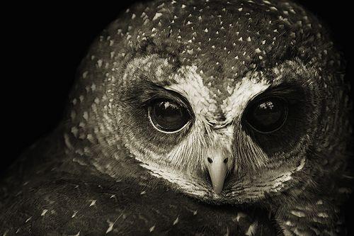 .: Owl Eye, Bright Eye, Beautiful Owl, Quote, Pet, Soft Lights, Birds, Black, Animal