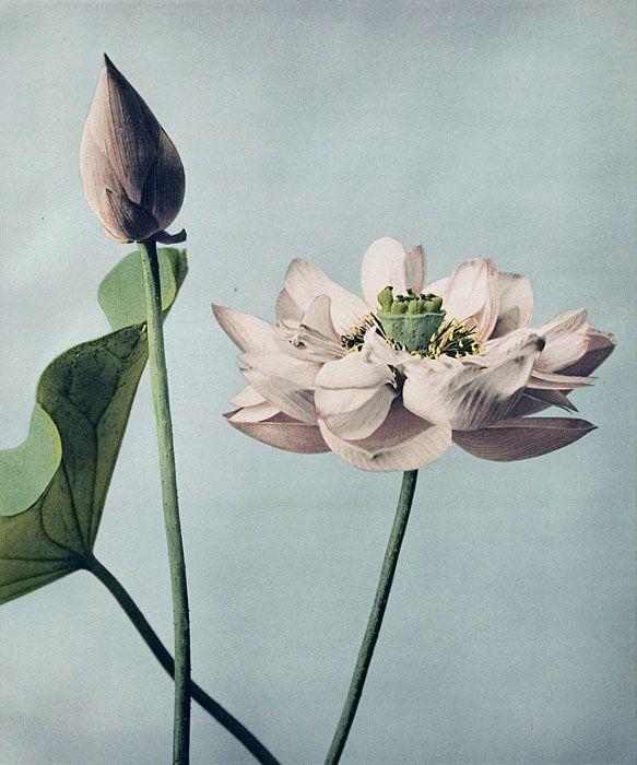 botanical illustration | Wallace Gardens