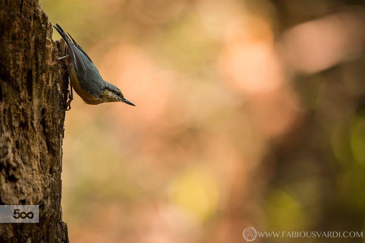 Eurasian nuthatch (Sitta europaea) - www.italianwildlife.it #italianwildlife #italian wildlife