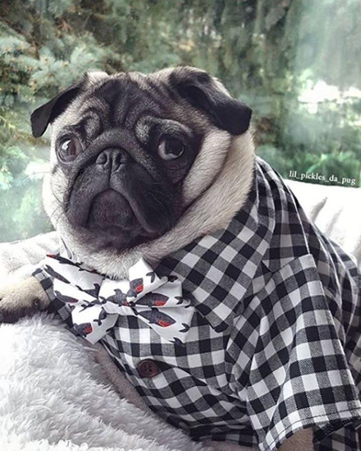 The Classic Shirt Baby Pugs Pugs Pug Puppies