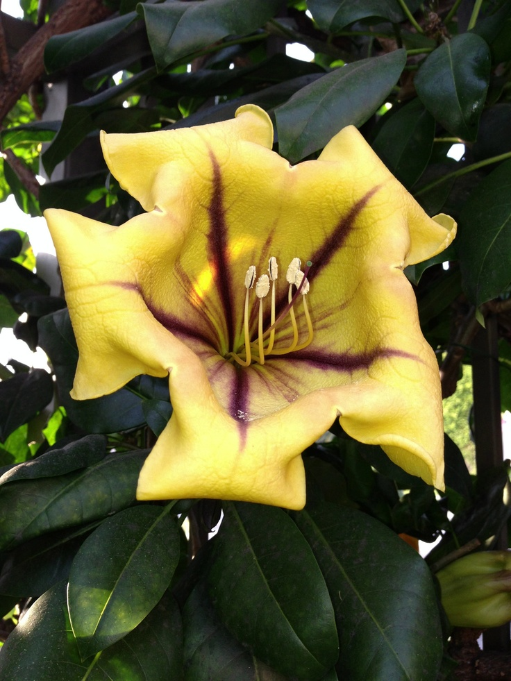 The psychedelic explosion of Solandra maxima