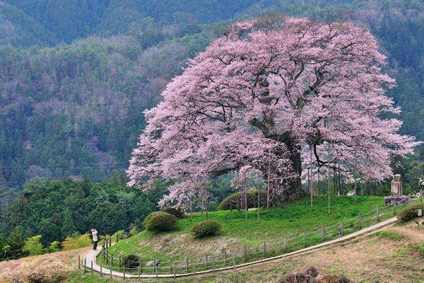 岡山県北部 | 醍醐桜のご紹介 | トヨタレンタリース岡山 地域情報BLOG
