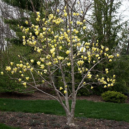 Magnolia Butterflies.  I never thought it possible to love a tree, alas, I do.  15-30 feet tall & wide.  Spring bloomer.
