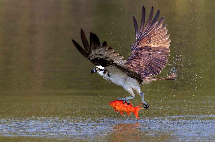 Un balbuzard pêcheur vient d'attraper un poisson au nord de Toronto au Canada.