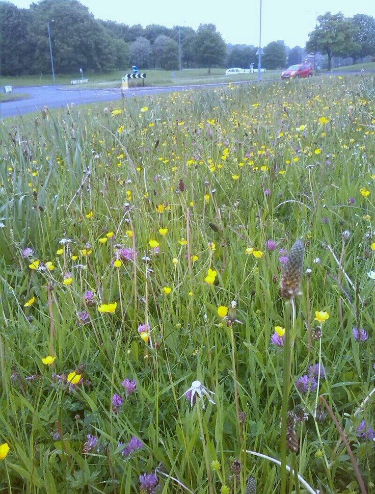 "@wonky_eggs: ""Viewley Hill in Hemlington - best road verge in town for me - let's mow less often? #SayNoMow"""