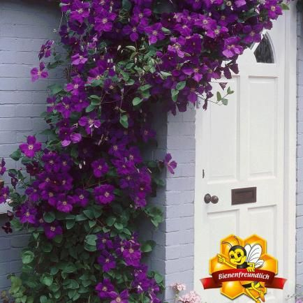 Clematis 'The President®',1 Pflanze