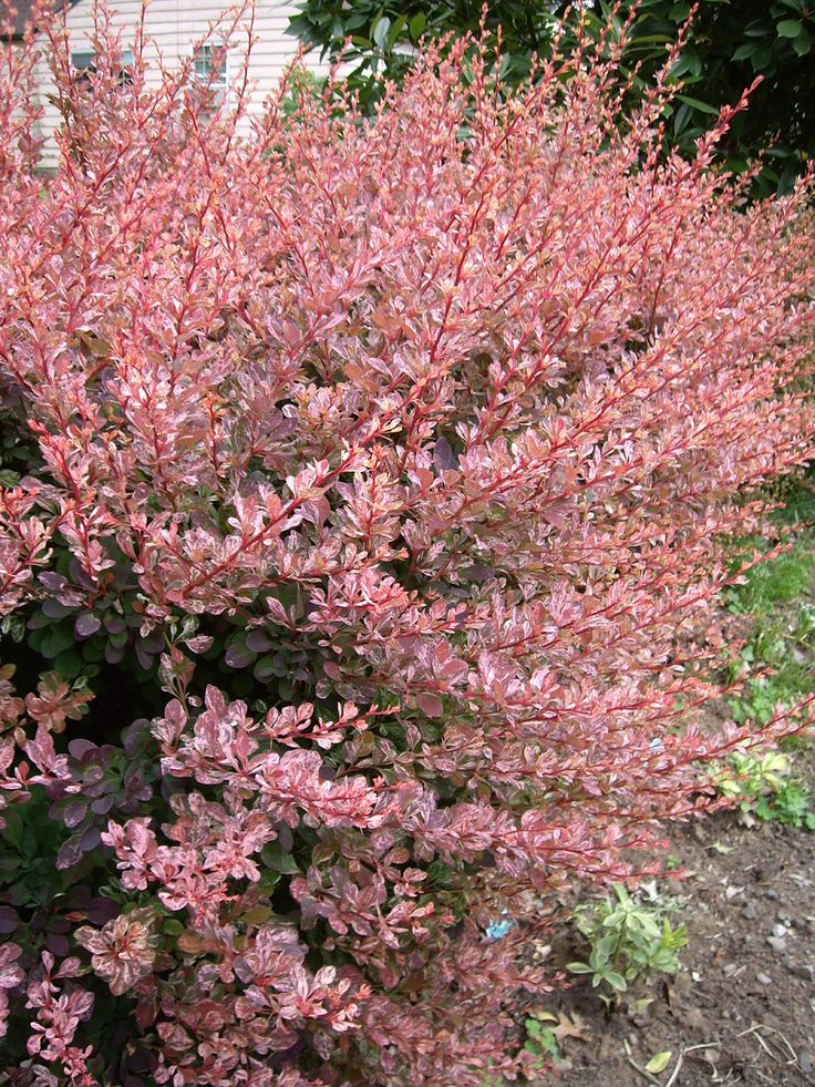 "Drought Resistant Garden Ideas Japanese Barberry ""rose Glow"" 
