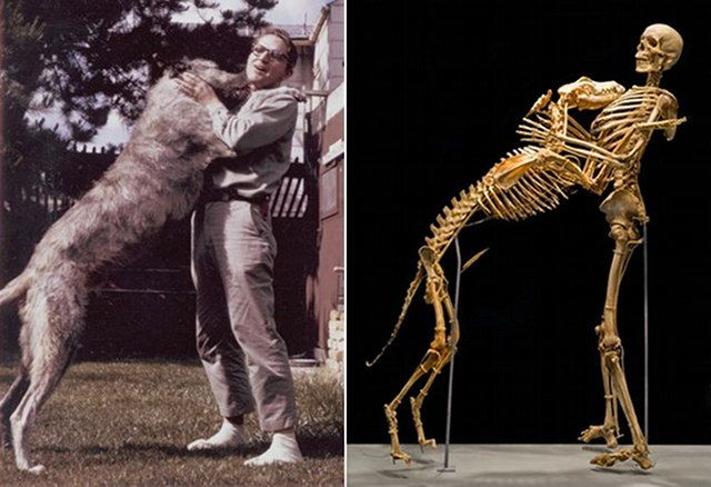 Professor Grover Krantz and his Irish Wolfhound dog Clyde bones at Smithsonian Together Forever: A Man And His Dog, Then And Now.   Krantz   (1931-2002) was known as a teacher, a loving pet owner, an eccentric anthropologist, and the first serious Bigfoot academic. http://www.geekologie.com/2013/02/together-forever-a-man-and-his-dog-then.php